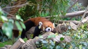 Lesser panda Royalty Free Stock Photography