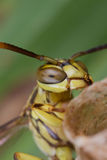 A lesser paper wasp on its nest stock photos