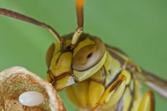 A lesser paper wasp on its nest guarding its egg royalty free stock image