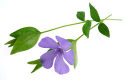 Lesser periwinkle. 