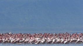 Lesser Pink Flamingoes imagen de archivo