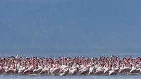 Lesser Pink Flamingoes Stock Image