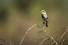 Lesser Popielata dzierzba w Kruger parku narodowym, Południowa Afryka Obraz Stock