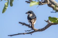 Lesser Popielata dzierzba w Kruger parku narodowym, Południowa Afryka Zdjęcia Royalty Free