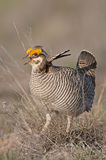 Lesser Prairie Chicken. Courtship display in North West Oklahoma Royalty Free Stock Photo