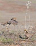 Lesser Prairie Chicken. Courtship display in North West Oklahoma Stock Photos
