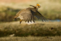 Lesser Prairie Chicken Stock Images