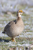Lesser Prairie Chicken che cammina in salvia congelata Fotografia Stock Libera da Diritti