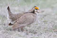 Lesser prairie chicken cock calling female Stock Photos