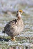 Lesser Prairie Chicken, der in gefrorenen Salbei geht Lizenzfreies Stockfoto
