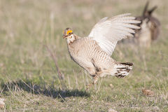Lesser prairie chicken protecting females Royalty Free Stock Images