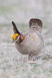 Lesser prairie chicken in western Oklahoma Stock Photography