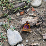 Lesser Purple Emperor fjäril - Apaturailia Arkivfoton