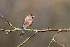 Lesser redpoll, Acanthis cabaret Royalty Free Stock Photo