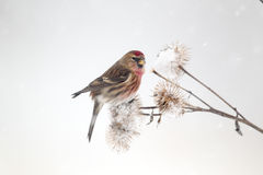 Lesser redpoll, Carduelis cabaret Royalty Free Stock Image