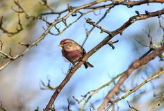 The lesser redpoll in early spring royalty free stock image