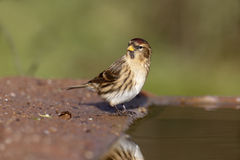 Lesser repoll, Carduelis cabaret Royalty Free Stock Photos