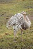 Lesser rhea Royalty Free Stock Photo
