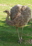 Lesser rhea Stock Photos