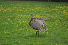 Lesser Rhea - Rhea pennata Royalty Free Stock Photos