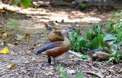 Lesser rhistling duck Stock Photo