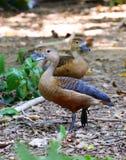 Lesser rhistling duck Stock Images