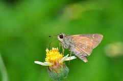 Lesser Rice Swift butterfly. Of Thailand background Stock Photography