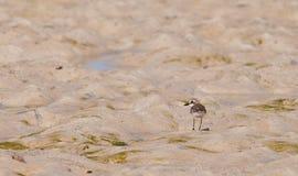Lesser Sand Plover Stock Image