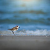Lesser Sand Plover. Stock Photography