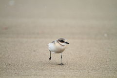 Lesser Sand Plover Royalty Free Stock Photos