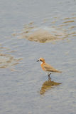 The Lesser Sand Plover (Charadrius Mongolus) Royalty Free Stock Photo