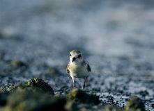 Lesser sand plover closer look Stock Images