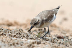 Lesser Sand Plover looking food Stock Image