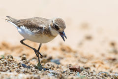 Lesser Sand Plover looking food Stock Photos
