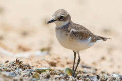 Lesser Sand Plover looking food Royalty Free Stock Photo