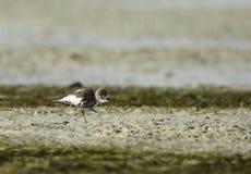 Lesser sand plover Stock Images