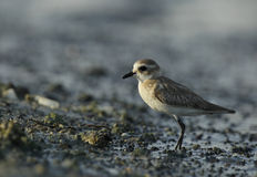 Lesser sand plover Stock Photography