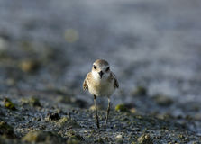 Lesser sand plover Royalty Free Stock Image