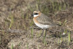 The Lesser sand plover standing among the low grass in the sprin Royalty Free Stock Photos