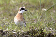 Lesser Sand Plover standing on tundra summer day Stock Images