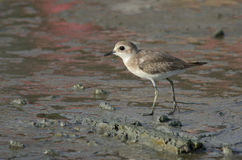 Lesser sand plover walking on muddy coastline at George Town. Beautiful birds along Asian flyway in Malaysia by Jason Crook. Stock Photo