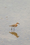 The Lesser Sand Plover Stock Photography