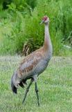 Lesser Sandhill Crane 1. A lesser Sandhill juvenile care is looking over it's shoulder Royalty Free Stock Photos