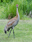 Lesser Sandhill Crane 2. A lesser Sandhill juvenile standing in mowed grass Royalty Free Stock Photography