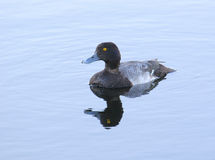 Lesser Scaup Stock Photography