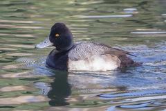 Lesser Scaup Imagens de Stock Royalty Free