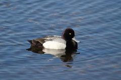 Lesser Scaup (Aythya-affinis) Royalty-vrije Stock Fotografie