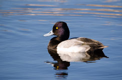 Lesser Scaup (Aythya-affinis) Stock Fotografie