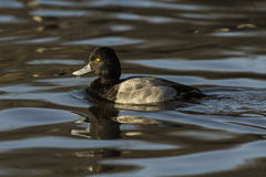 Lesser Scaup Aythya Affinis. A lesser scaup drake swimming in late afternoon sunlight Stock Images