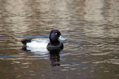 Lesser scaup (Aythya affinis) Stock Images